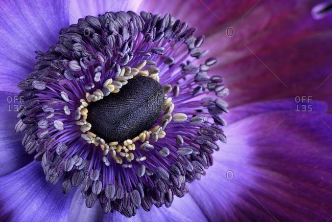 Detail of vibrant violet anemone