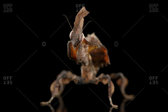 Ghost Mantis- Phyllocrania paradoxa- in front of black background