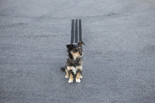 Skid mark behind dog sitting on the road