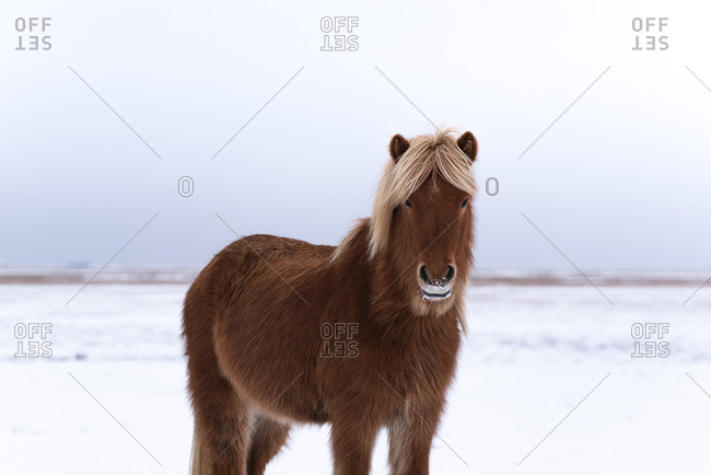 Beautiful healthy brown horse with face covered with snow standing and looking at camera while grazing with other different horses on snowy field in winter