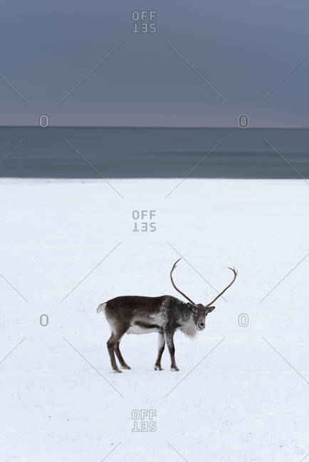 Side view of wild deer with long horns walking along snowy plain near icy sea on winter day in Iceland