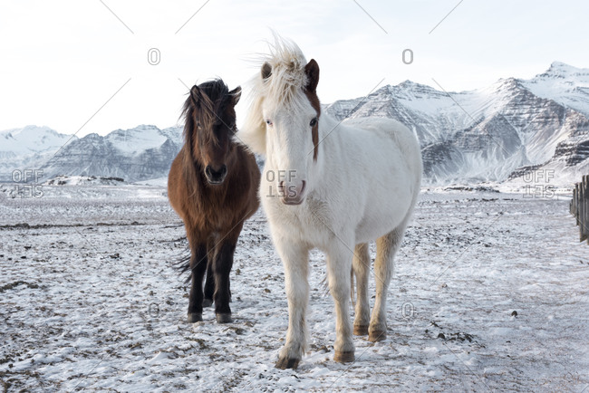 Amazing beautiful horses standing on snowy plain looking at camera on background of mountain ranges on cloudy winter day