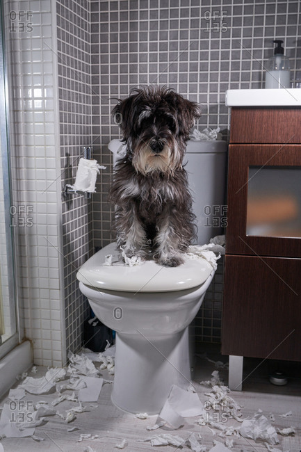 From above of playful fluffy dog sitting on toilet lid with scraps of toilet paper scattered over bathroom