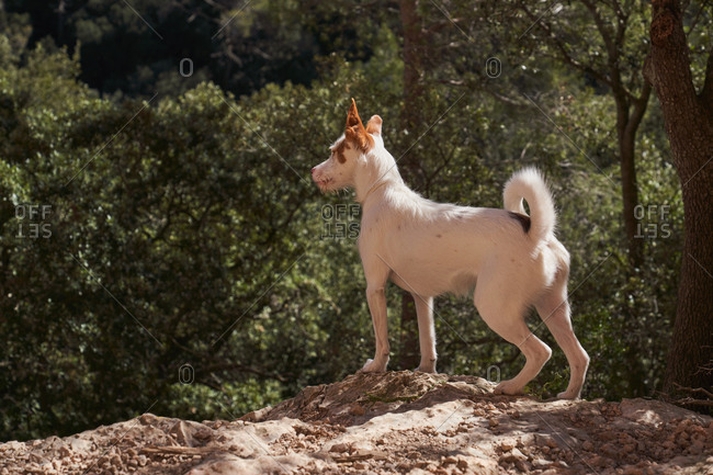 Side view of attentive Basenji dog standing alone on stone ground near green trees in in forest of sunny countryside