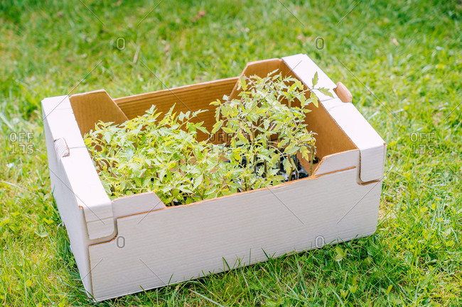 Bright green tomato seedlings placed in white paper box on green grass of lawn in sunny garden