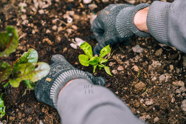 Unrecognizable crop gardener in gloves and workwear planting green seedlings in fresh soil in backyard in countryside near