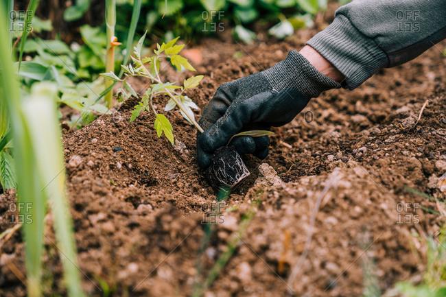 Anonymous gardener in gloves planting green seedlings in garden