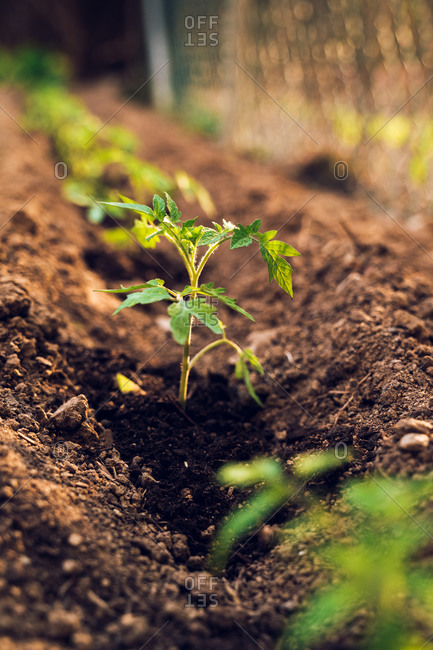 Closeup of small green growing plants of tomatoes freshly planted in cultivated soil in garden in countryside near