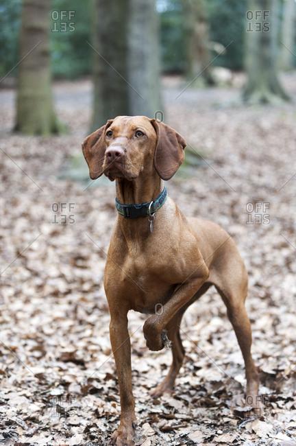 A Vizsla dog out for a walk in Putney heath