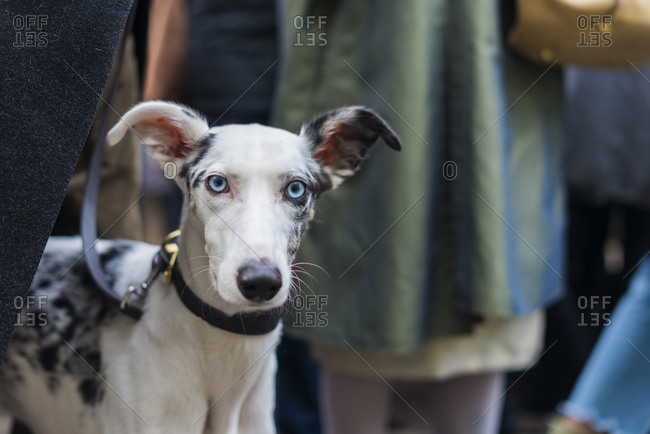 A white Whippet dog with striking blue eyes pricks his ears up and poses for the camera on a busy shopping street in London