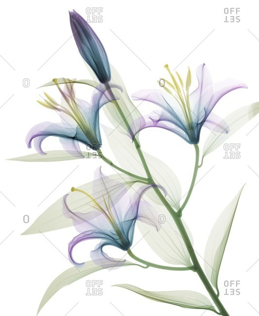 Oriental stargazer lily (Lilium sp.), colored X-ray.
