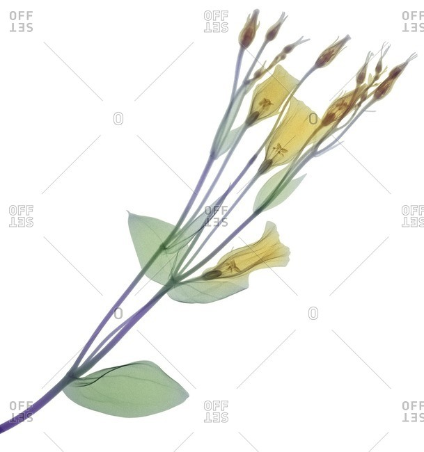 Branch with multiple yellow flowers and buds, colored X-ray.