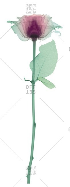 Rose with a long stem and one leaf, colored X-ray.