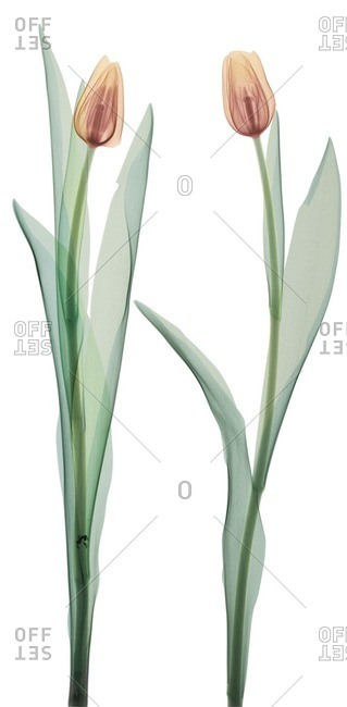Two orange tulips, colored X-ray.