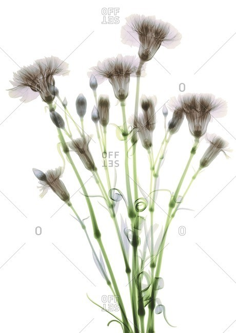 Bundle of flowers (Dianthus sp.), colored X-ray.