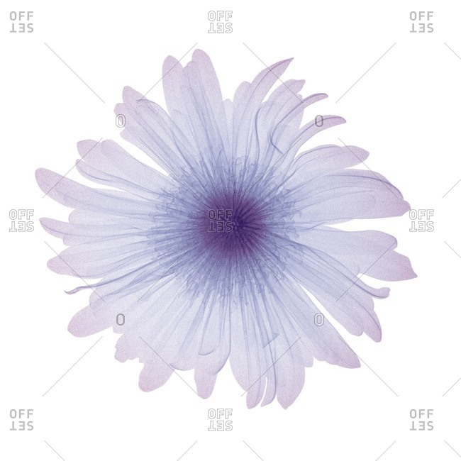 Close up of violet flower, colored X-ray.