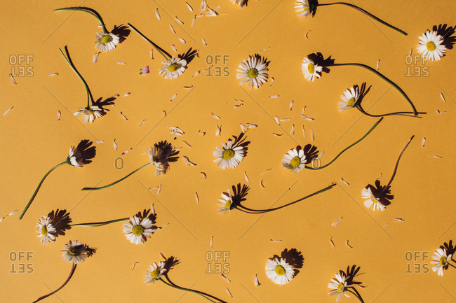 Daisy flowers and petals on yellow background