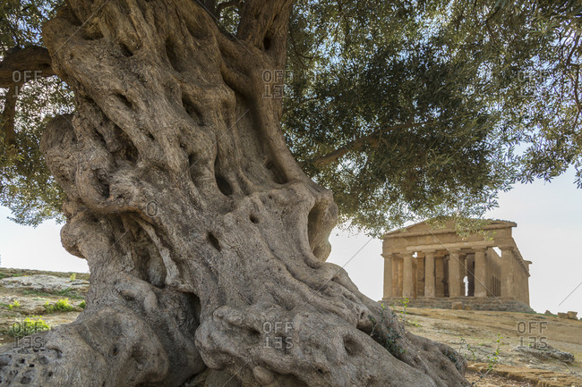 Old olive tree, Temple of Concordia, Archaeological Site of Agrigento, Sicily, Italy