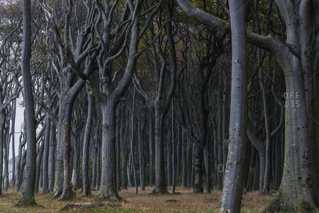 Ghost Forest, Nienhagen, Mecklenburg-Vorpommern, Germany