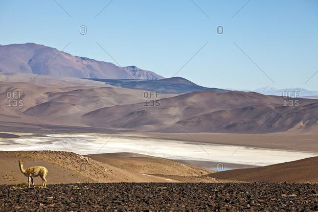 Vicuna at Salar de Cauchari, Salta Province, Argentina, South America