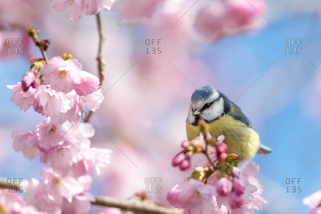 A blue tit sits on a beautiful branch with cherry blossoms.