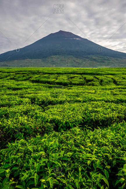 Kerinci volcano and vibrant lush tea plantations.