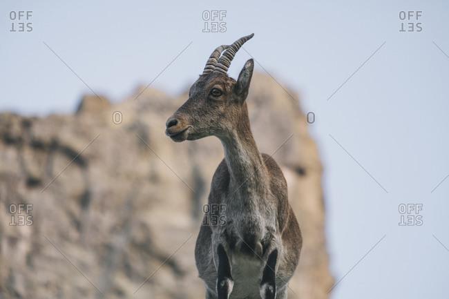 Close portrait of a Spanish mountain goat, Spanish Ibex