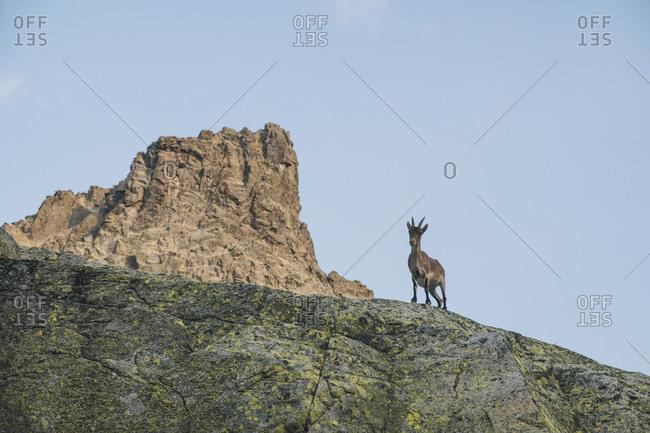 Spanish mountain goat, called Ibex, in Sierra de Gredos, Avila, Spain