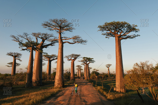 Villagers and tourists walk down world wonder Avenue of the Baobabs
