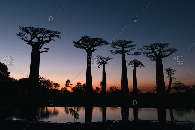 The Avenue of the Baobabs at silhouette at dusk with fishing pond