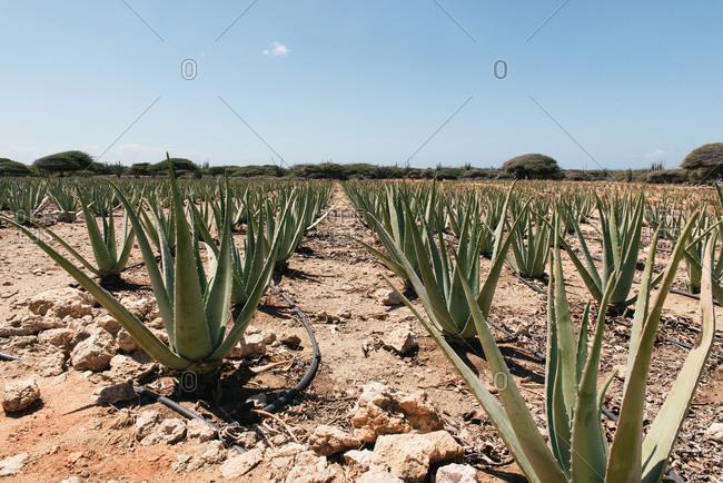 Rows of aloe vera plants being farmed in the dry Aruba desert