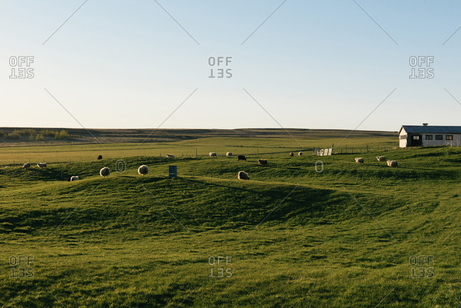 Selfoss, Iceland - May 20, 2017: Sheep graze the rolling green pastures of coastal Iceland