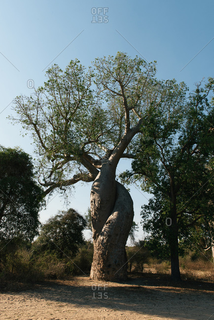 Intertwined Baobab Amoureux, Baobab in Love, in Madagascar