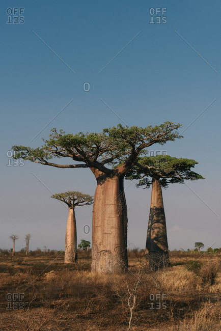 A small grove of baobab trees in an open field in Madagascar
