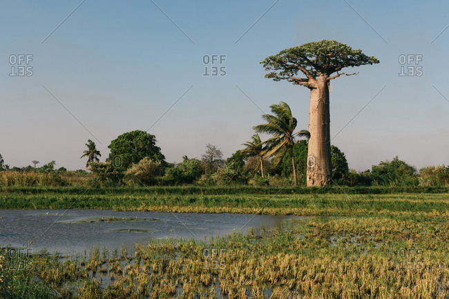 Baobab tree rising above the swamp and green farmland in Madagascar