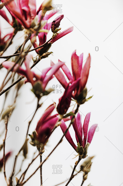 Pink magnolia flowers on white background. Selective focus.