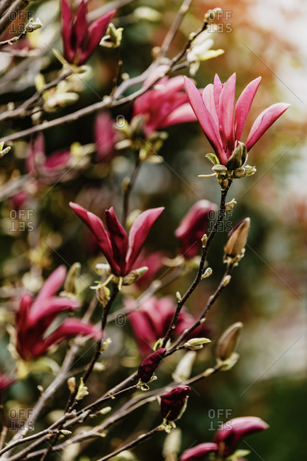 Pink magnolia flowers. Selective focus, blurred background.