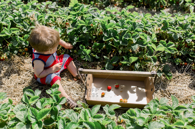 Toddler boy sitting in strawberry patch filling bucket