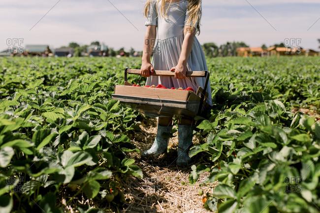 Girl holding bucket full of fresh strawberries in strawberry field