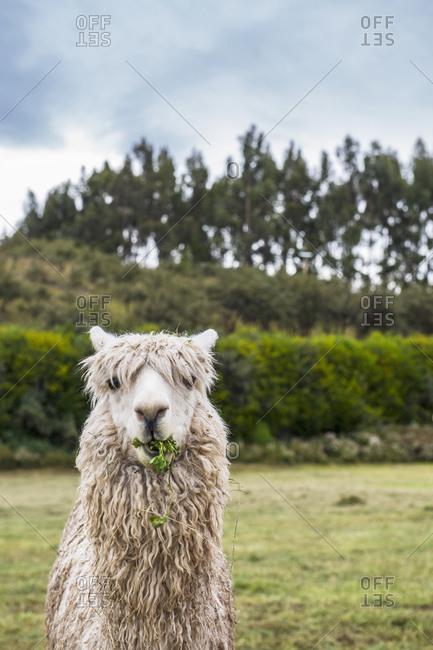 Alpaca at the old Inca site of Sacsayhuaman above Cusco / Peru