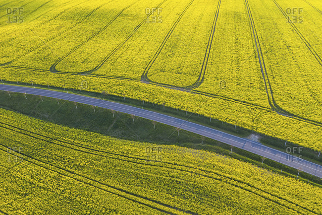 Germany- Brandenburg- Drone view of countryside road cutting through vast oilseed rape field in spring