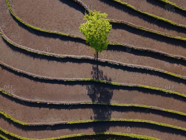 Indonesia- Bali- Aerial view of lone tree growing between terraced rice paddies