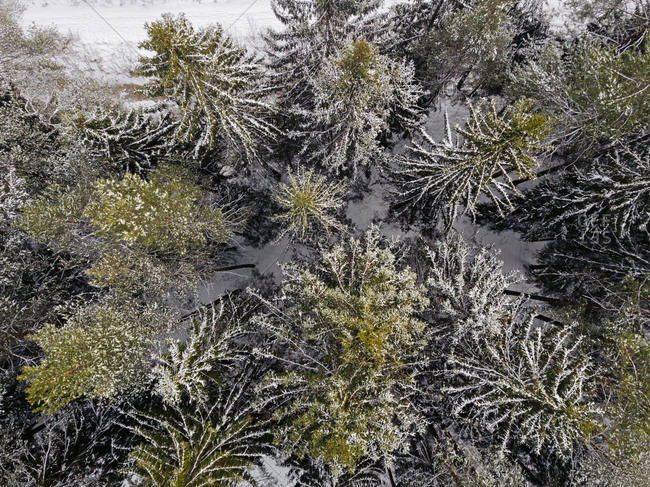 Russia- Leningrad Oblast- Aerial view of coniferous forest trees in winter