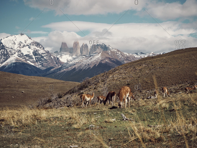 Guanacos grazing against Torres del Paine at the background- Chile