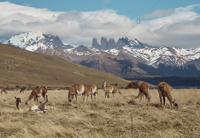 Guanacos grazing near Torres del Paine at the background- Chile