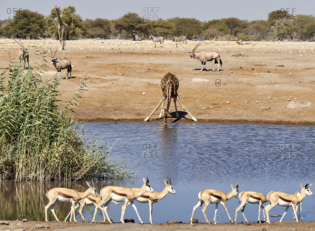 Giraffe drinking water surrounded by oryx and gazelles- Etosha National Park- Namibia.