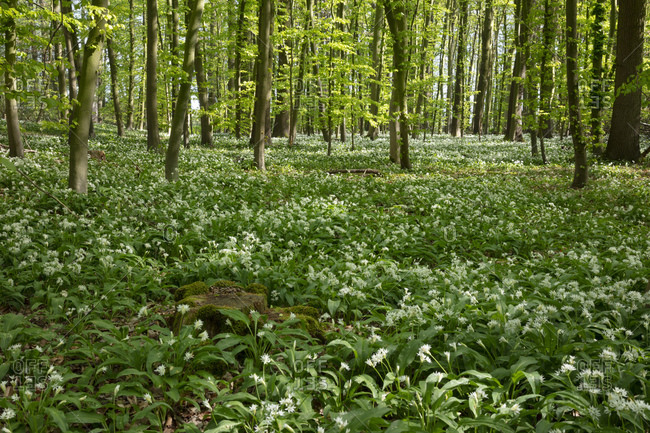 Germany- North Rhine-Westphalia- Wild garlic (Allium ursinum) growing in green glade