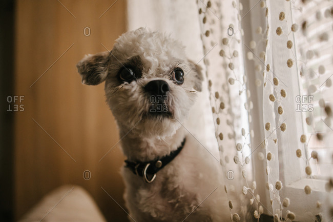 Portrait of a small white Shih tzu dog looking sad