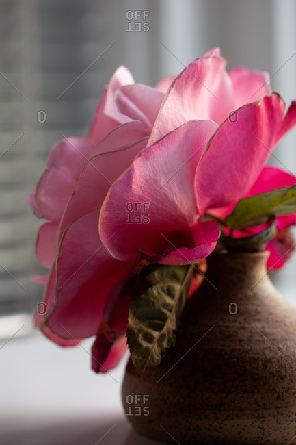 A close-up of the underside of a pink rose in a ceramic vase