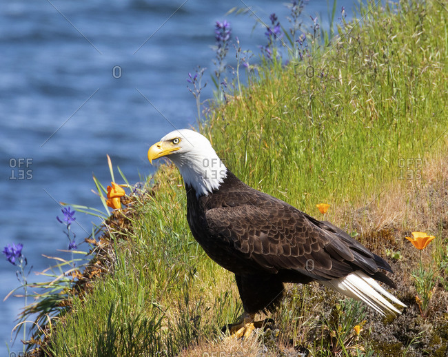 Bald eagle resting on grassy cliff, San Juan islands, Seattle, Washington
